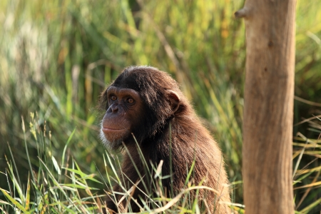 chimpanzee Stock Photo - 14950134