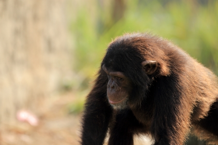 chimpanzee Stock Photo - 14950099