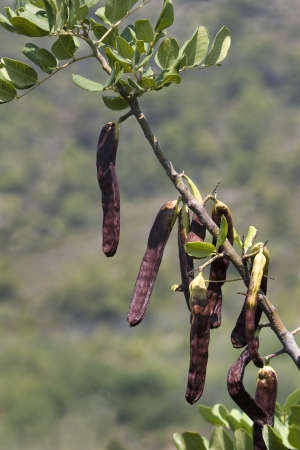 diuretic: Mature brown carobs on the tree on green background