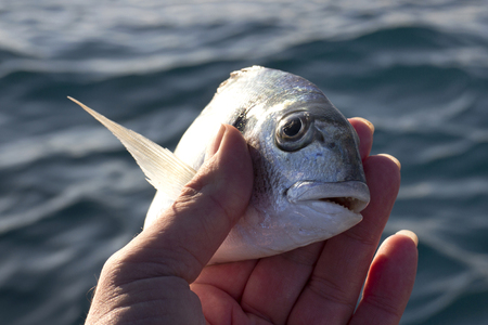 Little sea bream in fisherman hand in front of  blue sea background