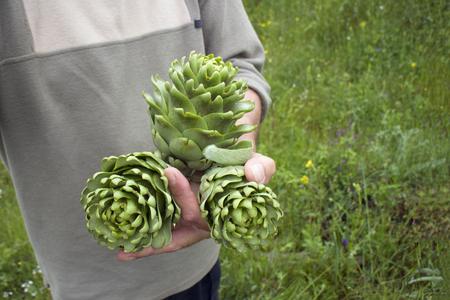 Three fresh picked artichoke bud in men hand