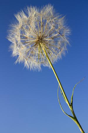 Dandelion seeds on blue sky background Фото со стока