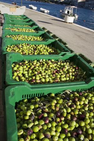 Olives in green plastic baskets ready for processing on island Brac in Croatia Фото со стока