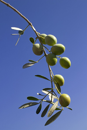 Branch with green olives, olive  twig with fruit and leaves on blue background Фото со стока