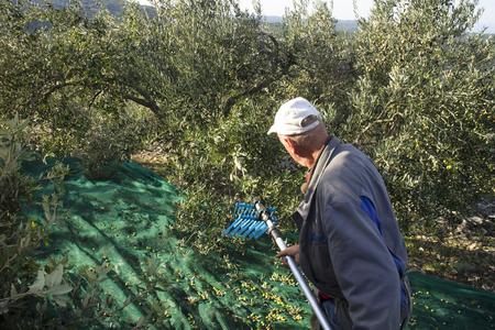Man picked olives with telescopic electric machine on net, island Brac in Croatia Фото со стока