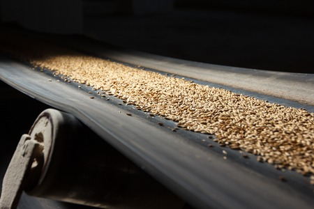 conveyors: conveyor belt with barley at beer factory Stock Photo
