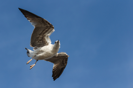 looking into camera: Seagull flying on blue sky and looking into camera Stock Photo