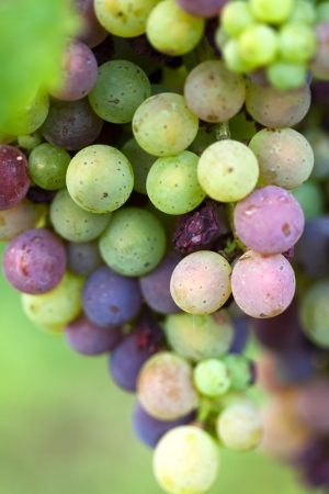 Bunch of grapes - white and red grapes