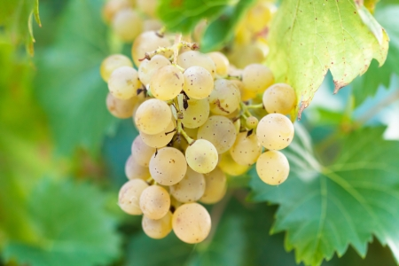 Bunch of grapes - white grapes