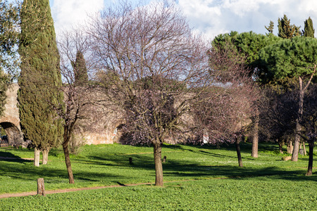 Cherry tree and other trees in the park of Aqueducts in Rome (Italy)