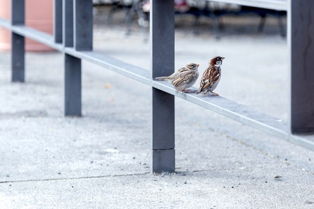 Canaries on a railing - focus on the canaries Archivio Fotografico