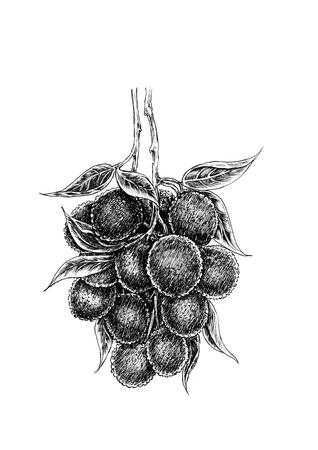 litchi: Hand drawing litchi Stock Photo