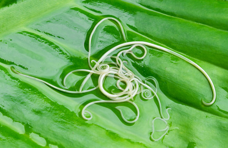 Helminths Toxocara canis (also known as dog roundworm) or parasitic worms from little dog on green leaf background, Pet health care concept 스톡 콘텐츠