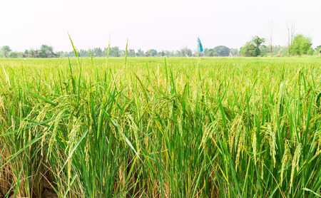 Rice field, Green nature view of rice