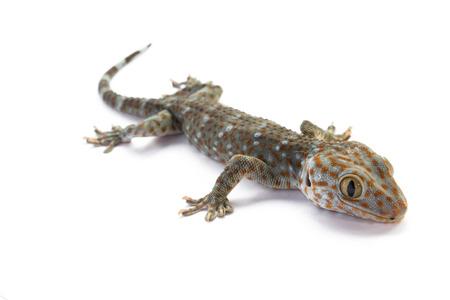 tokay gecko: Tokay Gecko on white background Stock Photo