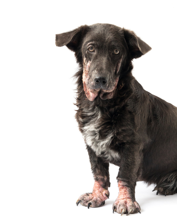 Dog sick leprosy skin problem with white background