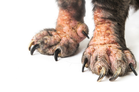 Closeup legs of dog sick leprosy skin problem with white background, selective focus