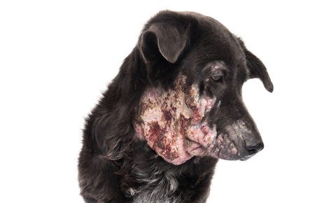 Closeup face of dog sick leprosy skin problem with white background 版權商用圖片