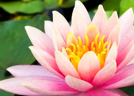 Closeup sweet pink lotus flower on the pond