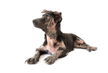 lepra: Enfermedad de perro lepra problema de la piel con fondo blanco