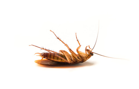 Closeup cockroach on white background for Insecticide product concept, selective focus