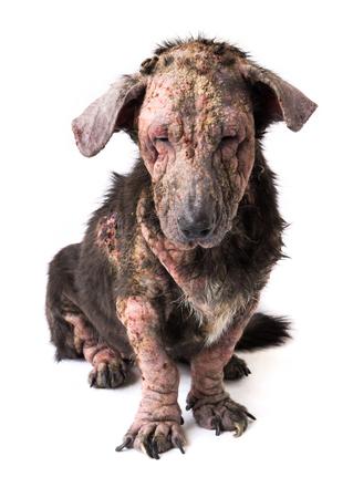 Closeup dog sick leprosy skin problem with white background Stock Photo