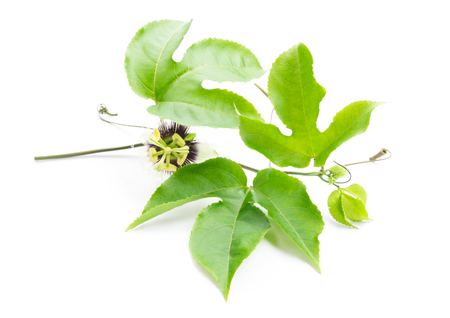 tendrils: Green leaves and brace of passion fruit with flower on white background