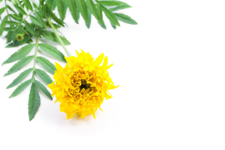 Closeup yellow marigold flower with leaves on white background for decorative concept