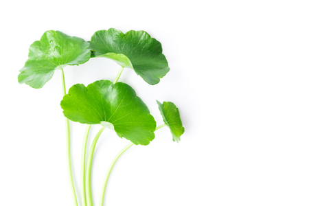Closeup leaf of Gotu kola, Asiatic pennywort, Indian pennywort on white background, herb and medical concept, selective focus