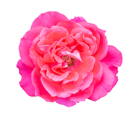 Beautiful sweet pink rose flower isolated on white background, love and romantic concept