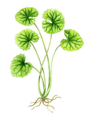 Gotu kola leaf watercolor illustration on white background, health care and medical concept