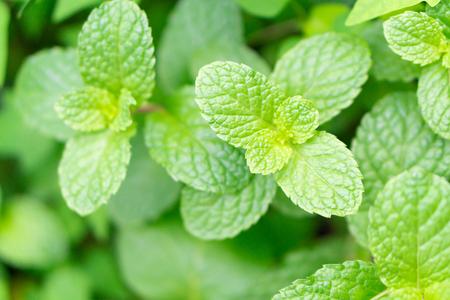 Closeup fresh pepper mint in pot, herb and health care concept, selective focus Фото со стока