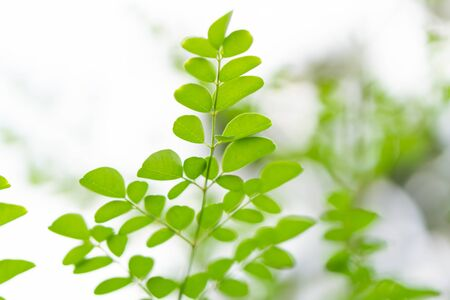 Closeup young moringa leaves branch, herb and medical concept 스톡 콘텐츠 - 128849343