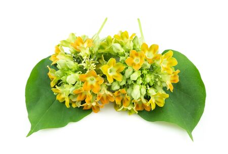 Cowslip creeper flower isolated on white background, food healthy concept 스톡 콘텐츠
