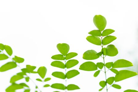 Closeup young moringa leaves branch, herb and medical concept 스톡 콘텐츠