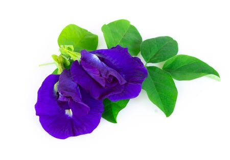 Butterfly pea flower on white background, herb and medical concept