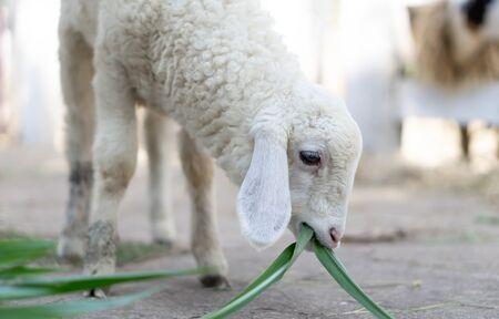Closeup white lamb eating grass in farm, selective focus