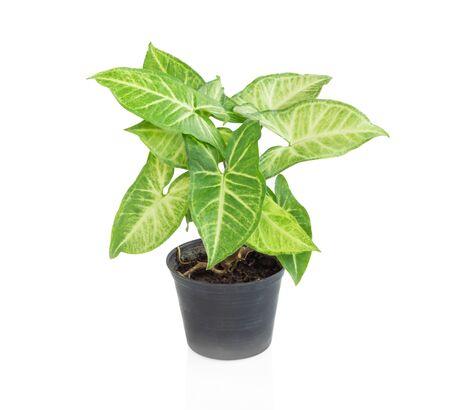 Fresh green arrowhead vine plant (Syngonium podophyllum) in black pot isolated on white background Standard-Bild
