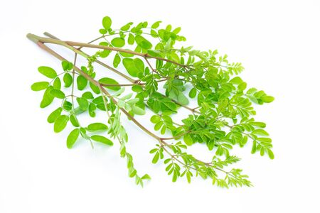Closeup young moringa leaves branch, herb and medical concept Фото со стока