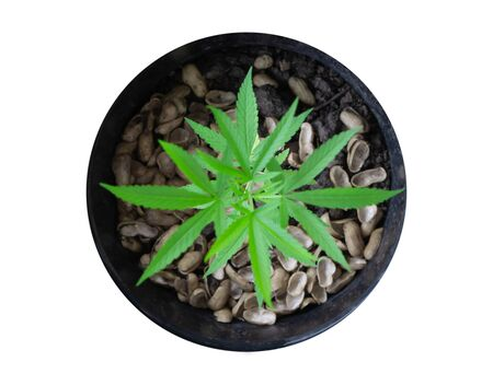 Closeup young cannabis or marijuana leaves plant in pot, health care and medical concept