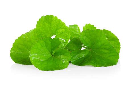 Gotu kola Leaf, Asiatic pennywort, Indian pennywort on white background, herb and medical concept 版權商用圖片