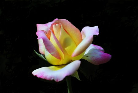 The beautiful rose photo