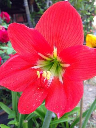 closeup: Red flower in the garden