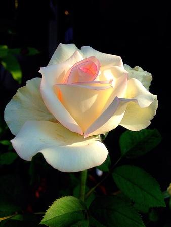 white: White rose in garden