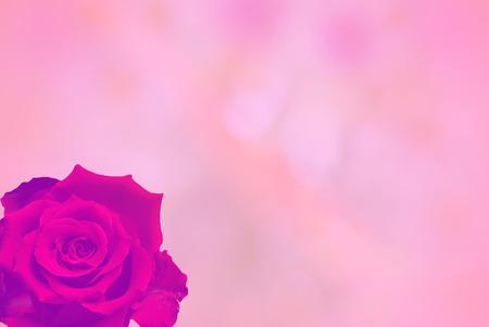 red rose bokeh: rose bokeh and pink background