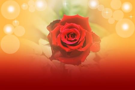 red rose bokeh: rose and bokeh background