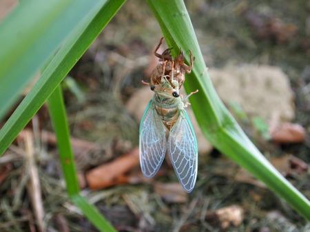 exoskeleton: cicada shedding its exoskeleton