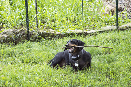 yard stick: Black dachshound chwing on a stick while sitting in the yard