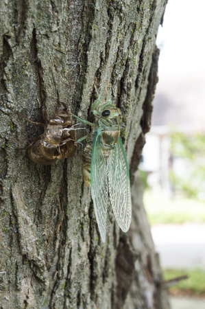 exoskeleton: Cicada shedding its exoskeleton while attached to a tree