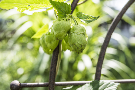 Beer hops on a vine almost ready for harvest